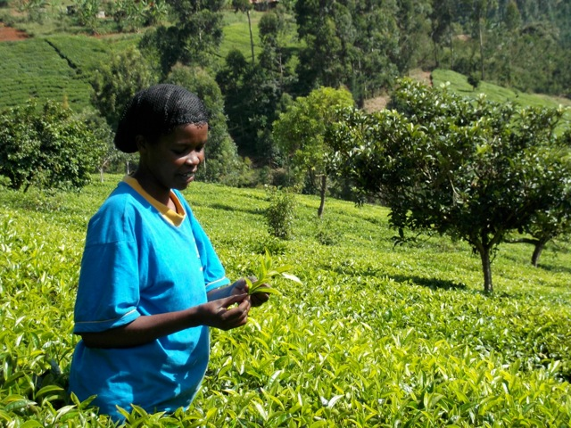 Creating better deals for tea pickers and farmers